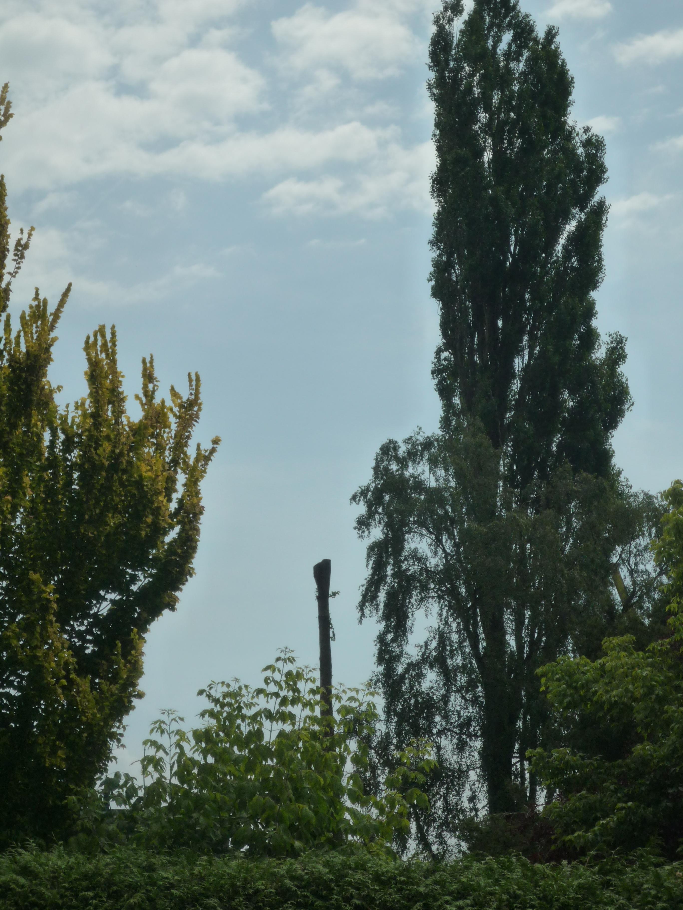 Dertig meter hoge bomen geveld