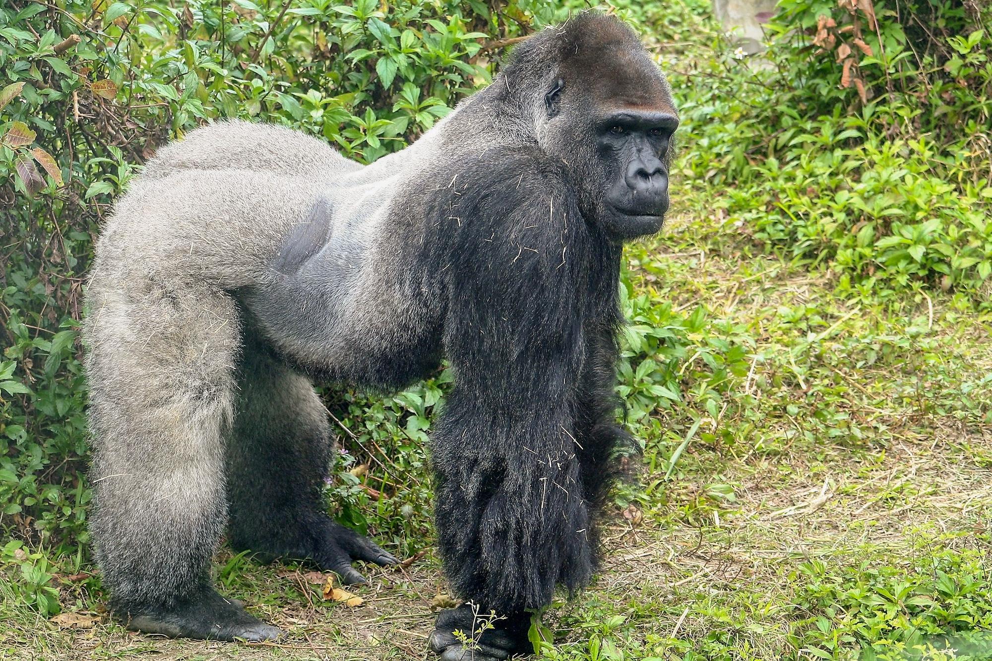Nieuwe gorillaleider Apenheul gearriveerd