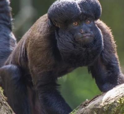 Apen met baarden