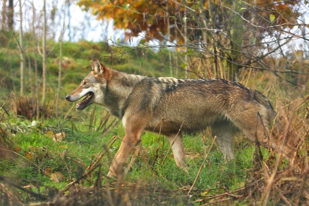 """De wolf komt terug en dat kan prima in ons land"""