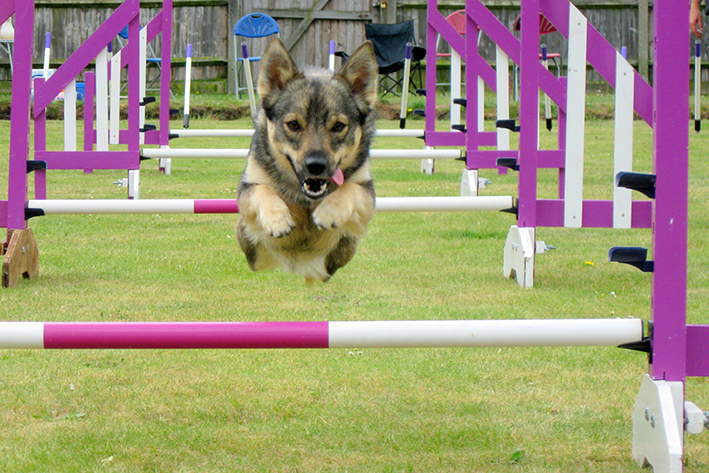 Behendige honden in het strijdperk
