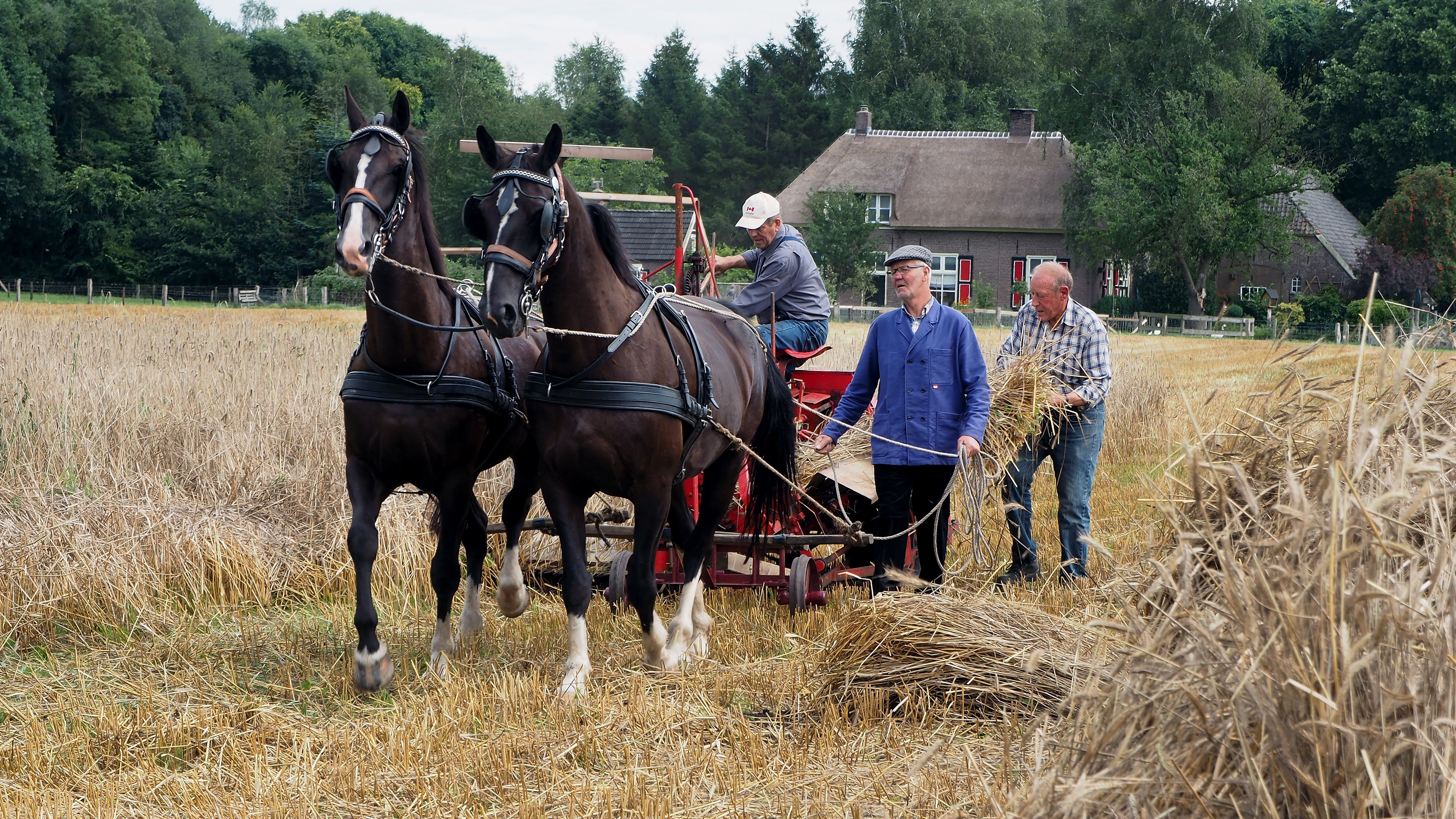 Terug naar jaren '50 met paarden in de landbouw