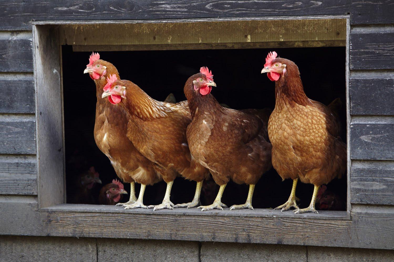 Kippen gaan graag de boer op, in weer en wind