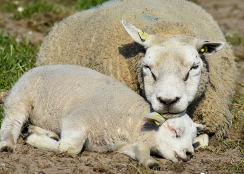 Lammetjes kondigen voorjaar aan
