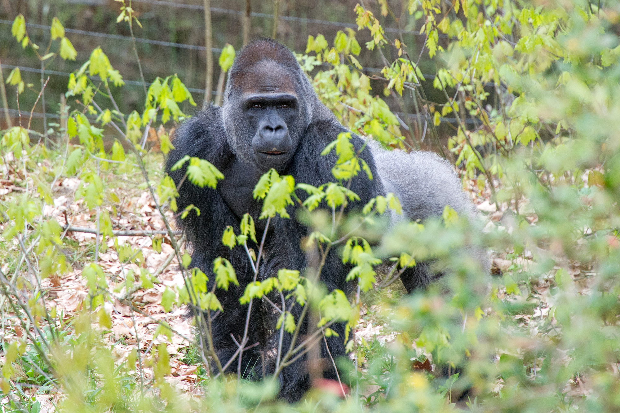 Vier de verjaardag van gorillaleider Bao Bao mee