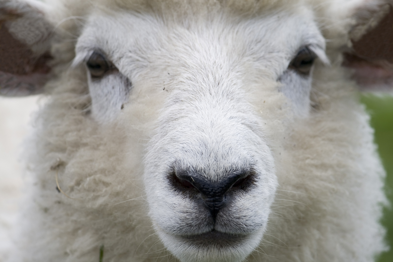 Tijdelijk geen schapen op droge dijken