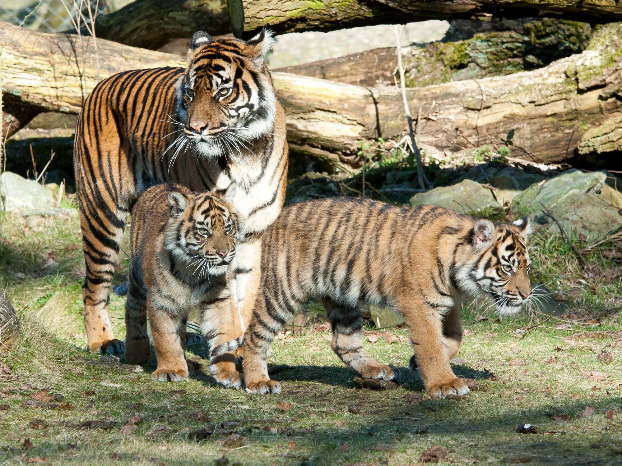 Twee in Arnhem geboren Sumatraanse tijgervrouwtjes verhuizen naar Zoo de Maubeuge (Frankrijk)