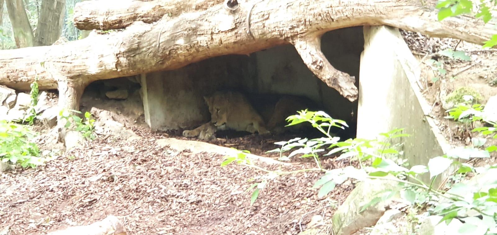 Twee leeuwen geboren bij Burger's Zoo