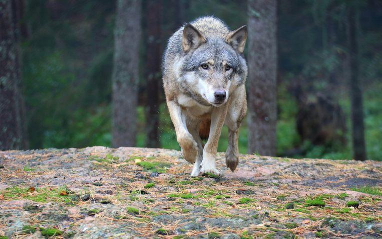 Subsidie voorkomen wolvenschade