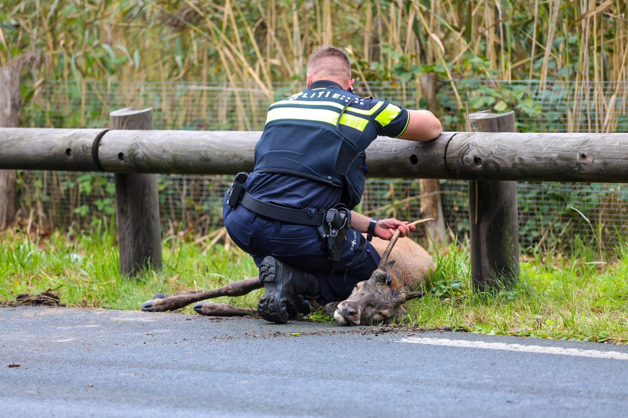 Hert overleden bij aanrijding, bestuurder auto gewond