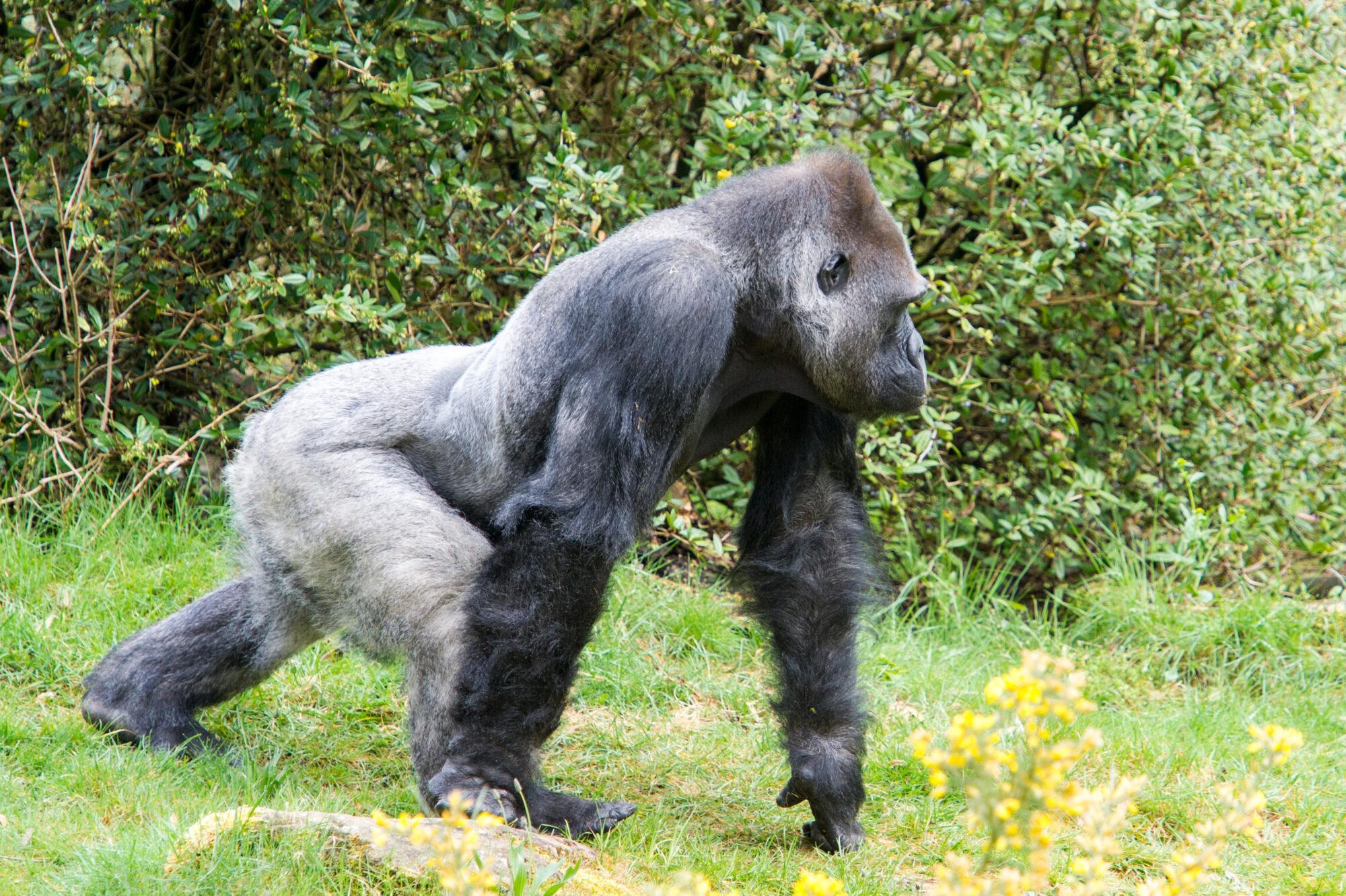 Gorillababy op komst in Apenheul