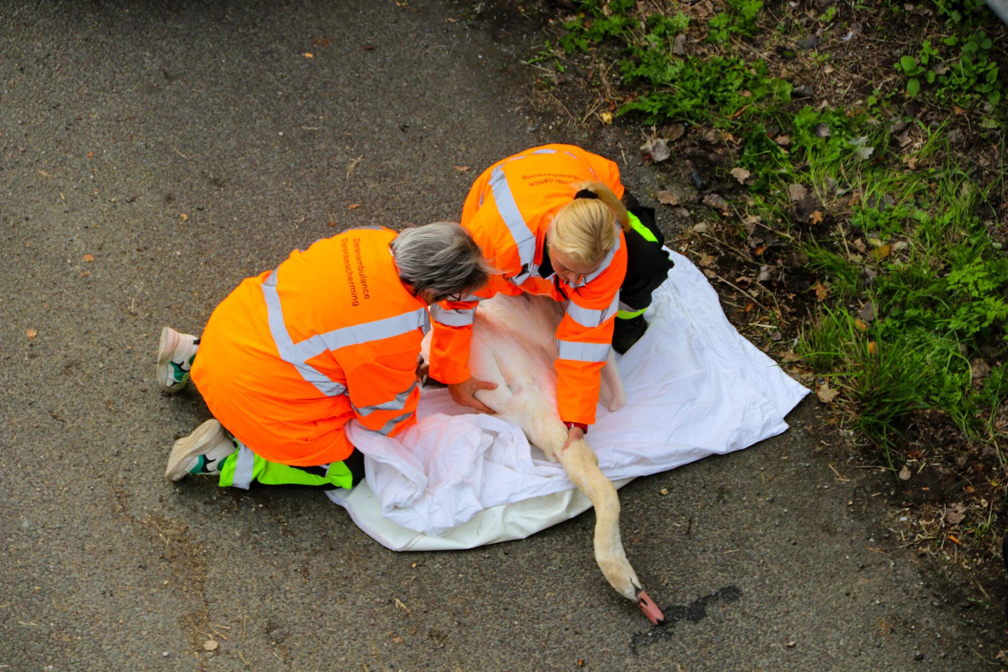 Zwaan belandt op A50 bij Vaassen en raakt gewond