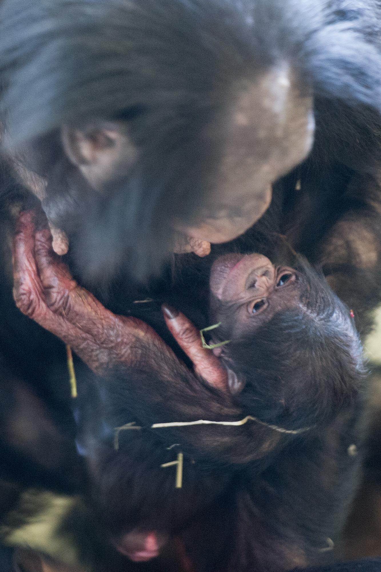 Bonobo geboren in Apenheul
