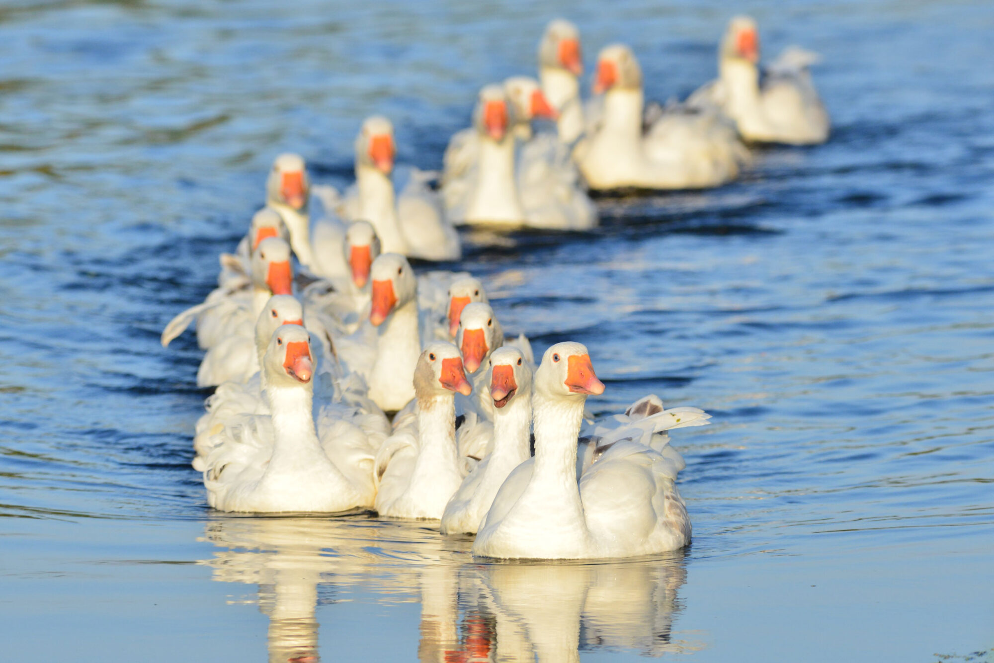Gemeente Zutphen start met diervriendelijk gansbeheer