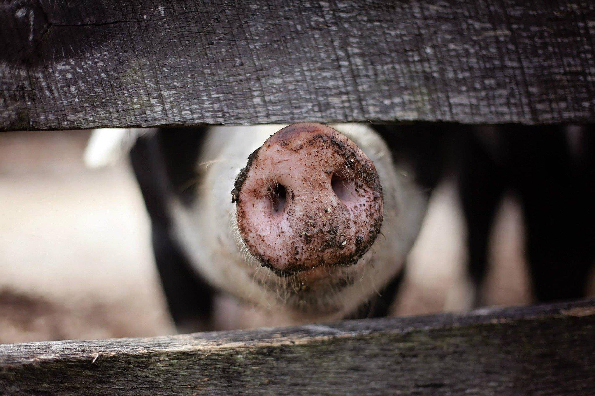 Zussen maken kinderboek 'Joep! – Klein varkentje op een grote boerderij'