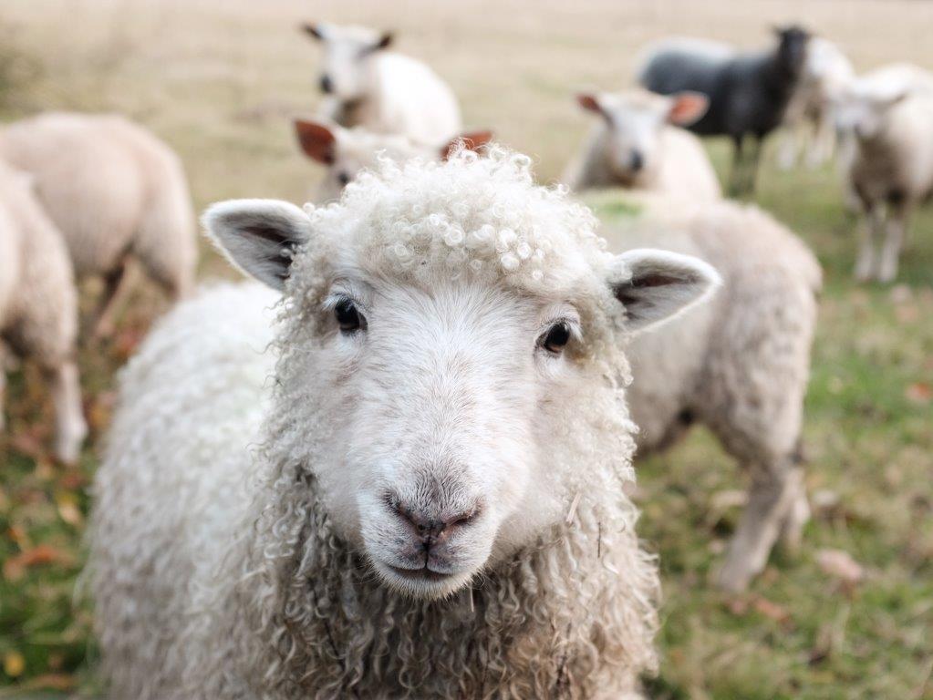 Als één schaap in het groen is…