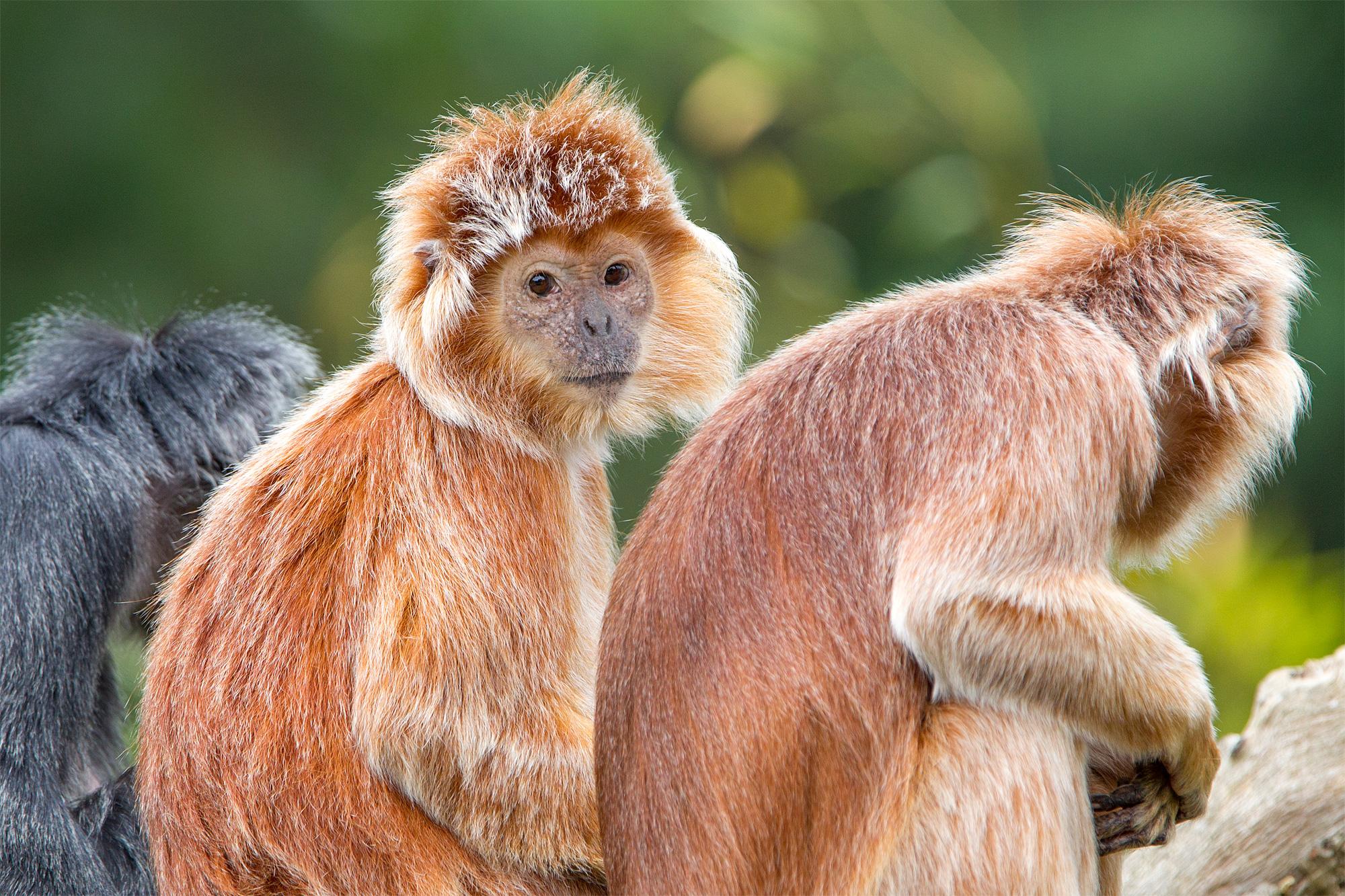 Help de Javaanse langoeren aan een nieuw verblijf
