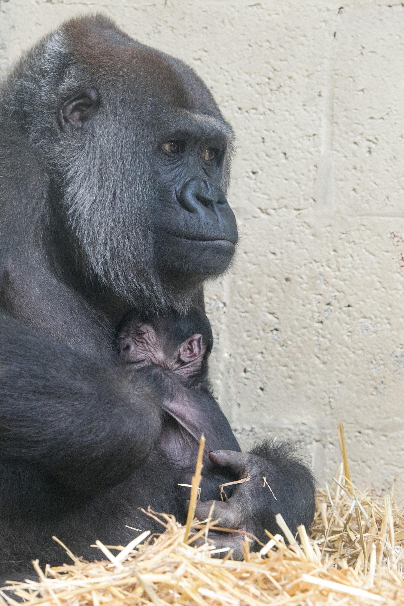 Hoe gaat de gorilla heten?