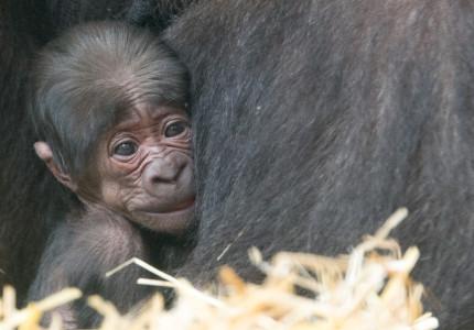 50e gorilla geboren in Apenheul tijdens 50-jarig jubileum