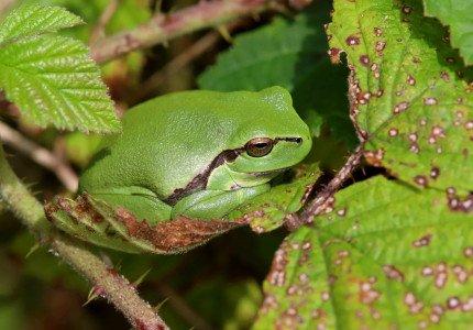 Impuls aan verbeteren leefgebieden boomkikker en knoflookpad