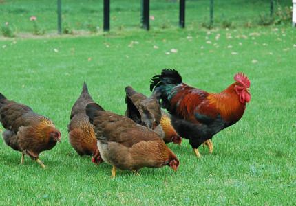 Welsumerclub er al halve eeuw als de kippen bij